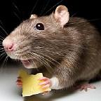 Мышь Домовитая аватар