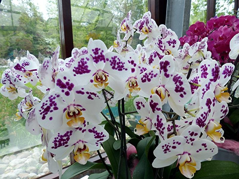 56_Keukenhof_-_Pavillon_Beatrix_Orchideen.jpg